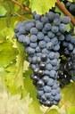 Vini Doc Romagna: modifica del disciplinare