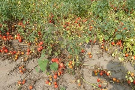 Al via il nuovo piano regionale di lotta contro il batterio-killer del pomodoro