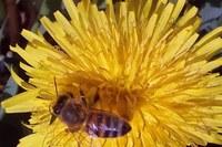 I bollettini per la difesa sostenibile del verde pubblico e privato tutelando le api