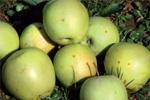 Contro le mosche della frutta senza danneggiare l'ambiente