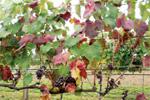 Giallumi: indispensabile l'impegno dei viticoltori