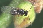 La gestione biologica del castagno da frutto