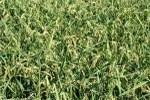 danni su riso