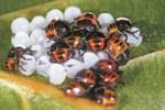 nascita larvale