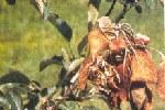 fiori-foglie-melo