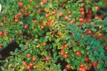 Cotoneaster Coral Beauty'