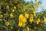 Laburnum-anagiroides