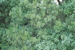 Phillirea-latifolia