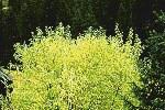 Salix-spp