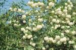 Viburnum-opulus