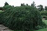 Cotoneaster-adpre