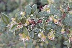 Cotoneaster-microph