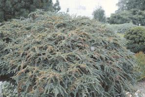 Cotoneaster-horizontalis