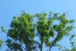 Alberi colpiti - foto Forestry Commission