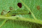 Larva e danno su foglia di melo