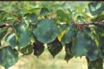 Albicocco aree clorotiche su foglie
