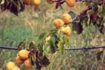 Albicocco sintomo su foglie e frutti