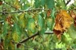 Ciliegio foglie colpite dalla malattia a vari stadi di infezione