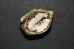 Le castagne assumono un aspetto gessoso e mummificato (foto G. Maresi)