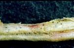 Radice colpita da Rhizopycnis vagum: caratteristico colore rosa delle aree marcescenti e picnidi del fungo