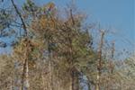 attacco su pino - foto Regione Piemonte