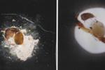 cisti e uova - foto Manachini