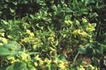 sintomo su foglie - foto Manachini
