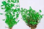 Piante di erba medica da foraggio: sana (a sinistra) e infestata da Ditylenchus dipsaci (a destra)