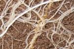 femmine su radici di patata - foto Greco