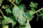 Lesioni di Ph. infestans su foglie di pomodoro