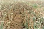 Grave attacco di peronospora su cipolla da seme
