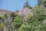 piante di quercia - foto Fera Crown