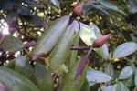 sintomo su rododendro - foto Fera Crown