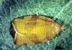 Adulto di P. cerasana