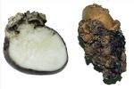 Rogna nera della patata 2.150 (Settore Fitosanitario - Regione Piemonte)