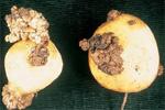 Rogna nera della patata 3.150 (Settore Fitosanitario - Regione Piemonte)
