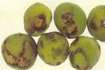 frutti di albicocco colpiti