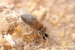 Adulto di Anagyrus pseudococci S.Foschi - Bioplanet