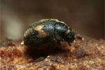 Adulto di Nephus includens S.Foschi - Bioplanet
