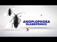 Anoplophora glabripennis - come riconoscerla, prevenirla, contrastarla