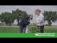 Ralstonia solanacearum su pomodoro – come riconoscerla, prevenirla, contrastarla