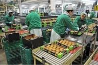 Agricoltura, firmato l'accordo Italia-Cina per l'esportazione di kiwi: grande opportunità anche per l'Emilia-Romagna