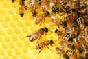 Miele e alveari: la Regione investe circa 800mila mila euro per la salvaguardia dell'insetto garanzia di biodiversità