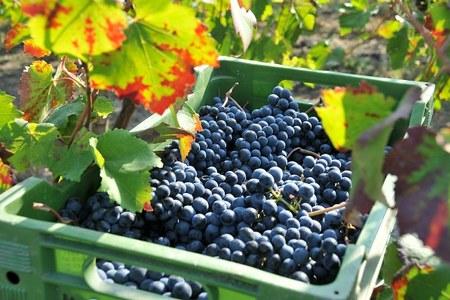 Previsioni vendemmiali in Emilia-Romagna, la vera incognita è la siccità