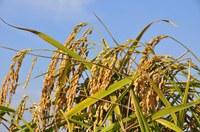 Aperto il mercato cinese al riso italiano