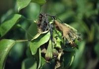 Abbruciamento residui vegetali infetti da Erwinia amylovora