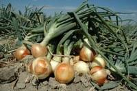 Più valore ad aglio, cipolla e scalogno nelle cucine degli chef