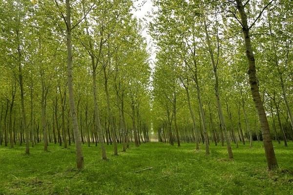 arboricoltura da legna