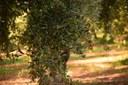 Eccellenze rurali: filiera olivicola-olearia
