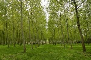 Imboschimenti e arboricoltura da legno